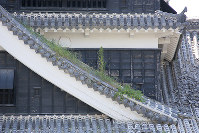 Weeds that have begun to grow on the roof of the main tower of Kumamoto Castle are seen in Kumamoto on July 28, 2016. (Mainichi)
