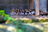 熊本市動植物園から避難し、一般公開されたウンピョウ=福岡市中央区の福岡市動物園で2016年8月2日午前10時5分、矢頭智剛撮影