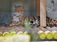 熊本市動植物園から避難し、一般公開されたウンピョウ=福岡市中央区の福岡市動物園で2016年8月2日午前10時14分、矢頭智剛撮影
