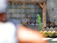 熊本市動植物園から避難し、一般公開されたウンピョウ=福岡市中央区の福岡市動物園で2016年8月2日午前10時12分、矢頭智剛撮影
