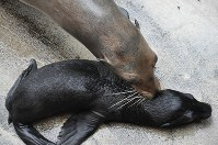 生まれたばかりのカリフォルニアアシカの赤ちゃん(手前)に鼻を寄せる母親のケイト=沼津市内浦長浜の伊豆・三津シーパラダイスで、垂水友里香撮影
