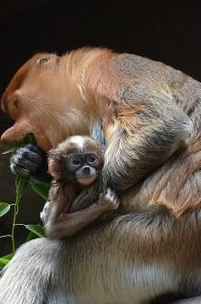 母親のアプルにしがみつくテングザルのジャスミン=よこはま動物園ズーラシア提供