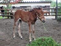 草を食べる対州馬の子馬=仙台市太白区の八木山動物公園で、升谷志摩撮影