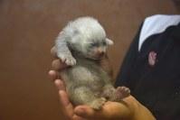 生まれて6日目のレッサーパンダの赤ちゃん=和歌山県白浜町のアドベンチャーワールド提供
