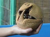 飼育員の手の上で体を丸めるアルマジロの赤ちゃん=長野市の茶臼山動物園で