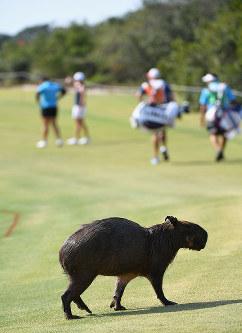 リオ五輪ゴルフ女子のコースを横切るカピバラ=ゲッティ