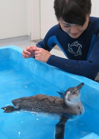 展示プールでのデビューを目指し、泳ぐ訓練を繰り返すペンギンの「ふうりん」=東京都墨田区押上のすみだ水族館 で2016年8月19日午後2時38分、柳澤一男撮影