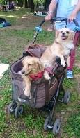 複数の犬を乗せられる多頭用ペットカート。「外出先が広がる」として普及が進んでいる=東京都台東区で