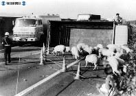 東名高速道路開通:静岡県で豚を積んだトラックが横転=1989年(平成元年)4月13日撮影