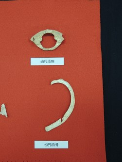 国内2番目の古さとなる3万年前の人骨。幼児の首の骨(上)とろっこつ(下)=那覇市の沖縄県立博物館・美術館で2016年9月17日14時27分、大森顕浩撮影