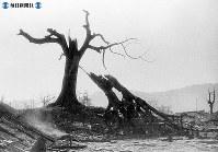 【広島】爆風により折れた広島城の楠の大木=1945(昭和20)年8月9日