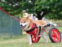 車いすを使って散歩するすみれ=「すみれちゃん応援団」提供