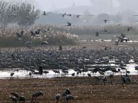 毎年秋から冬にかけて、鶴の大群が姿を現すフーラ湖とその周囲の湿地帯。さまざまな野鳥も訪れ、さながら野鳥博物館のよう=イスラエル北部で、大治朋子撮影