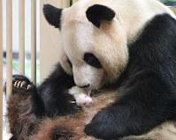 母親の良浜に抱かれるジャイアントパンダの赤ちゃん=和歌山県白浜町のアドベンチャーワールドで2016年10月1日午前9時12分、川平愛撮影