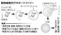 動物細胞内でのオートファジー