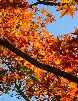 中野もみじ山で9月下旬、日光を浴びて輝く紅葉。本格的な見ごろは10月下旬だ=青森県黒石市で2016年9月21日、篠田航一撮影