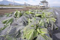 Chinese cabbage leaves are covered with volcanic ash in Aso, Kumamoto Prefecture, on Oct. 8, 2016. (Mainichi)