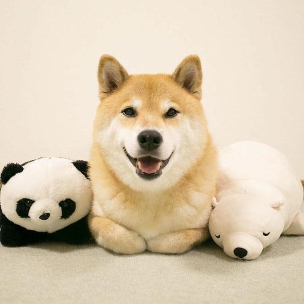 柴犬 まる インスタ グラム