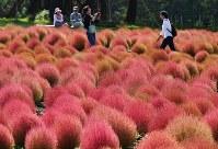 紅葉した一面のコキアを楽しむ人たち=岐阜県郡上市の「花の駅ひるがの高原コキアパーク」で2016年10月6日