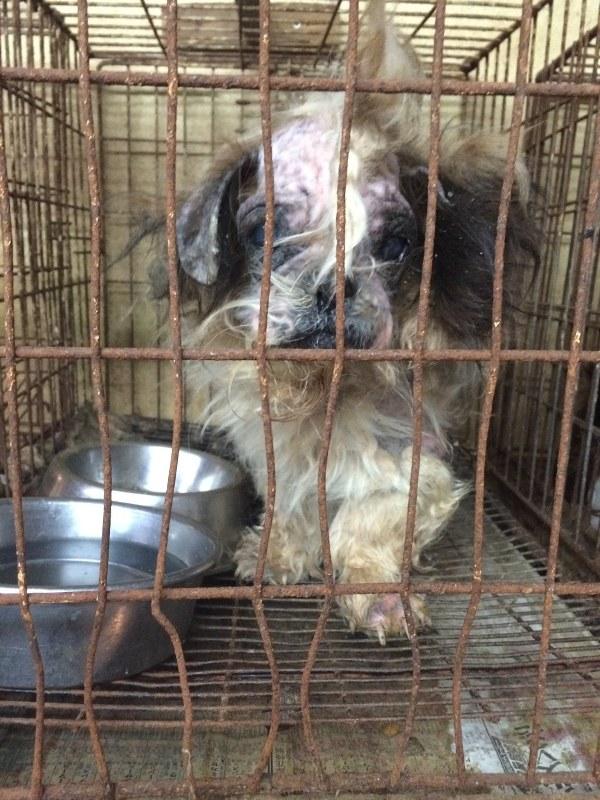 「引き取り業者」のケージに閉じ込められていたシーズー犬=2015年12月10日、日本動物福祉協会撮影
