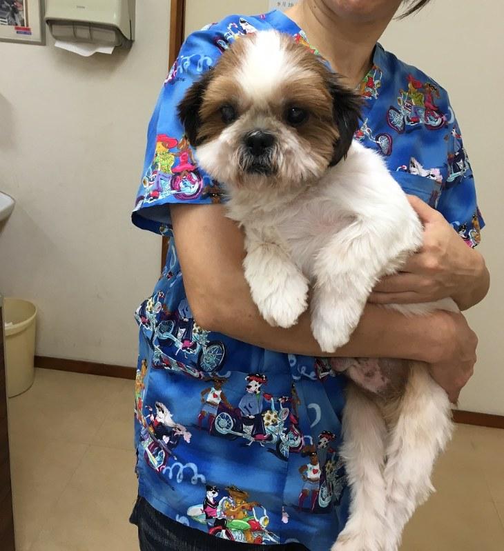 「引き取り業者」から救出され、その後元気になったシーズー犬=2016年9月、日本動物福祉協会撮影