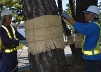 クロマツに巻かれるワラのこも=安城市の旧東海道松並木で