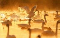 朝もやの中、飛び立つハクチョウ=新潟県阿賀野市で2016年10月16日、小川昌宏撮影
