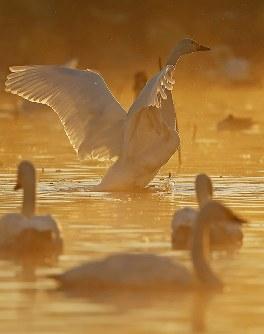 朝靄の中、水面で羽を広げるハクチョウ=新潟県阿賀野市で2016年10月16日、小川昌宏撮影