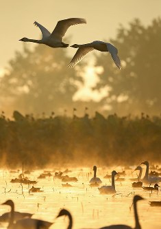朝靄の中、飛び立つハクチョウ=新潟県阿賀野市で2016年10月16日、小川昌宏撮影