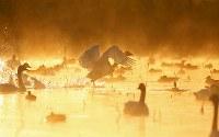 朝靄の中、水面を駆けるハクチョウ=新潟県阿賀野市で2016年10月16日、小川昌宏撮影