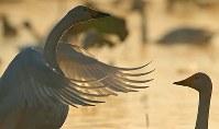 朝日を浴びながら、水面で羽を広げるハクチョウ=新潟県阿賀野市で2016年10月16日、小川昌宏撮影