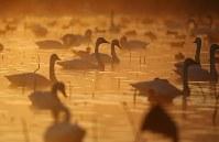 朝靄の中、水面で羽を休めるハクチョウ=新潟県阿賀野市で2016年10月16日、小川昌宏撮影