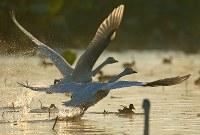 朝日を浴びながら、水面から飛び立つハクチョウ=新潟県阿賀野市で2016年10月16日、小川昌宏撮影