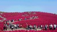 コキアが紅葉し、大勢の見物客でにぎわう国営ひたち海浜公園=茨城県ひたちなか市で2016年10月20日、山下智恵撮影