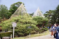 松の木に雪吊りが施され、兼六園での冬支度が始まった=金沢市で、久木田照子撮影