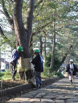 太い幹にこもを巻き付ける造園業者ら=三島市谷田付近で