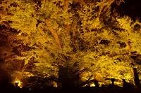 ライトアップされた下城の大イチョウ=熊本県小国町で2016年10月28日