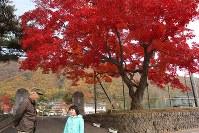 真っ赤に染まった紅葉=岩手県岩泉町袰綿の町立小川小学校前で2016年11月5日、藤井朋子撮影