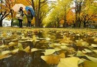 見ごろを迎えたイチョウ並木の黄葉=札幌市北区の北海道大学で2016年10月31日、手塚耕一郎撮影