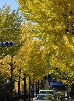 見ごろを迎えた黄葉=奈良県天理市で2016年11月11日、熊谷仁志撮影