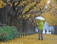 A person snaps a photograph of gingko trees as snow falls on the morning of Nov. 24, 2016, in Tokyo's Minato Ward. (Mainichi)