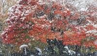 東京都心で11月として統計開始以来初めての積雪となった24日、都内では見ごろを迎えた紅葉と雪のコラボレーションが見られた。めったに見ることのできない光景に人々からは歓声があがった=東京都練馬区の光が丘公園で2016年11月24日午後1時33分、宮武祐希撮影