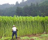 大麻草は高さ3メートルにも育つ=厚労省提供