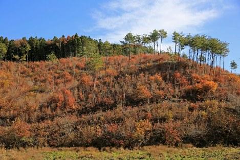 コナラ林を伐採して2年半。伐採されずに所々に残った松の木の下で、コナラの若木が紅葉し、里山を彩っていた。切り株から新芽が生え林に戻る「萌芽更新」が始まっていた=鮫川村で2016年11月15日、梅村直承撮影