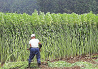 大麻草は高さ3メートルにも育つ。刈り入れなどは重労働になるという=厚労省提供