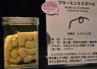 多摩動物公園で展示しているブラーミニミミズヘビ=斉藤三奈子撮影