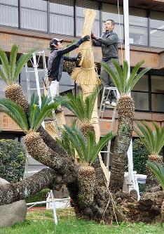 冬支度が進められるソテツ=島根県大田市役所前で、関谷徳撮影