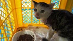 ハブにかまれ縫合手術を受けた猫。手術翌日から餌をよく食べた。地元出身の、長寿で有名な泉重千代さんにちなんで重(しげ)ちゃんと命名された=どうぶつ基金提供