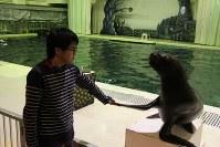 ツルツルのプールサイドでも決して「滑らない」アシカとの合格祈願握手会=神奈川県三浦市の京急油壺マリンパークで