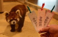 物おじしないレッサーパンダのひかり(左)のフンを使って作った合格祈願の特製しおり=福井県鯖江市の市西山動物園